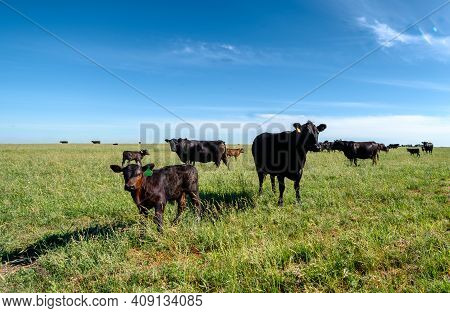 A Black Angus Cow And Calf Graze On A Green Meadow. Agriculture, Cattle Breeding.