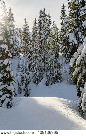 Pine Trees Covered In A Heavy Snow In A Winter Wonderland