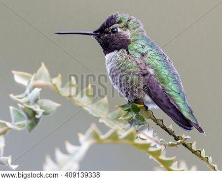 Anna\'s Hummingbird Adult Male. Santa Cruz, California, Usa.