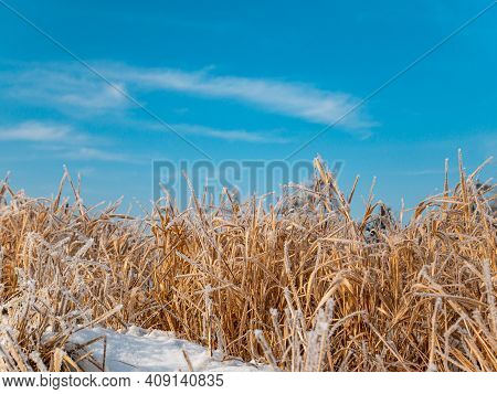 Reed Aquatic Plant In Hoarfrost In Winter Against The Blue Sky. Marsh Plant Cattail. Swamp Reeds. Ic