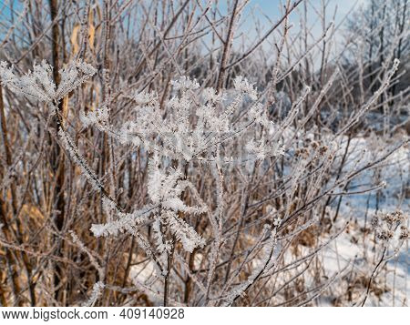 The Heracleum Plant Is Covered With Frost In Winter. Meadow Plant Heracleum. Winter Season. White Sn