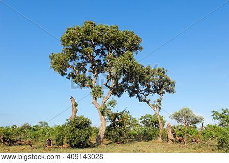 Large apple leaf tree (Philenoptera violacea), Kruger National Park, South Africa
