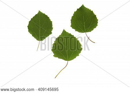 Green Plant Leaves Of Aspen Tree On A White Isolated Background, Template For Your Design, Natural E