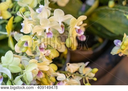 Rare Orchid Phalaenopsis Close-up In A Greenhouse, Blurred Background, Selective Focus, Breeding Of