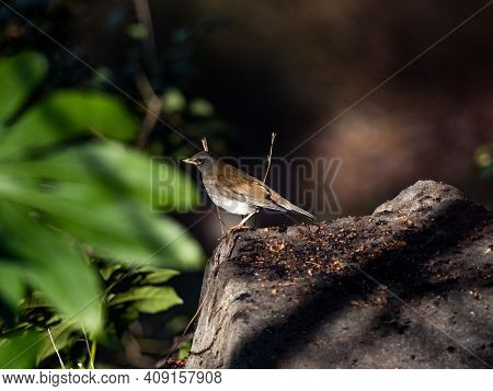 A Pale Thrush, Turdus Pallidus, Stands On The Concrete Ledge Of A Small Water Trough In A Park Near