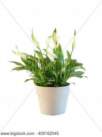 Plant, Nature. Peace Lily Plant  Small Size Grow And Blooming In Pot On White Bacground Isolated And