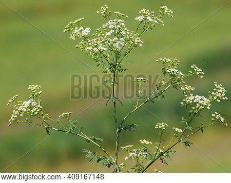Hemlock Or Poison Hemlock Plant, Conium Maculatum