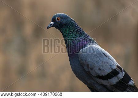 Pigeon Portrait Photo Background Blur Prolonged Neck