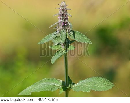 Downy Woundwort Blooming Plant In Summer, Stachys Germanica