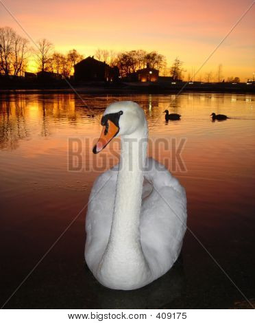 one swan and two ducks on a background of a sunset poster