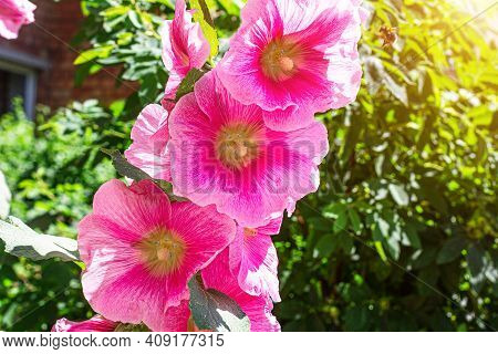 Fresh Blossom Bright Pink Hollyhock (alcea Rosea, Malva, Mallow) Flowers In The Garden In Summer.