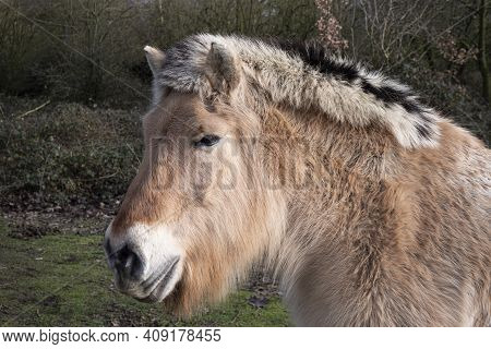 Close Up Portrait Photo Of A Nordic Fjord Horse