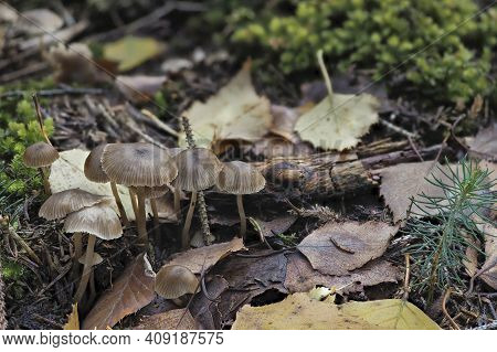 The Slender Navel (fayodia Bisphaerigera) Is An Inedible Mushroom , An Intresting Photo