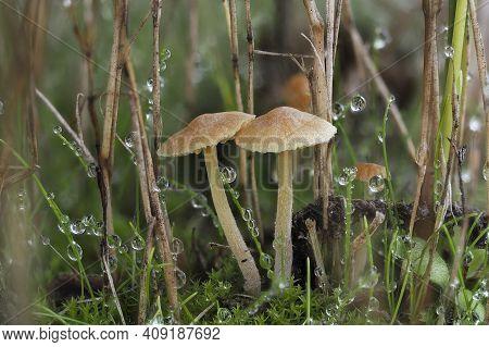 The Turf Bell (galerina Graminea) Is An Inedible Mushroom , An Intresting Photo