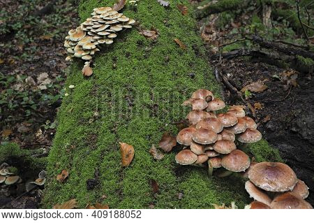 The Brick Tuft (hypholoma Lateritium) In Front And Sulphur Tuft (hypholoma Fascuiculare) Are Both Po