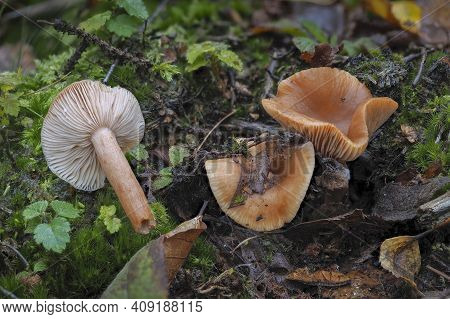 The Birch Milkcap (lactarius Tabidus) Is An Inedible Mushroom , An Intresting Photo