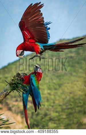 Two Macaw Parrots Fight Over A Tree Branch In This Incredible In Flight Action Shot