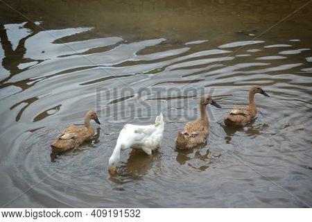 Four Downy Ducks Bathe, Forage And Swim In The Bumpy River