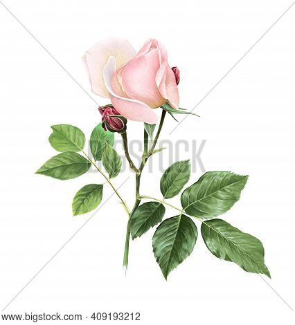 Softness Coral Pink Rose Flower With Green Leaves. Isolated Color Pencil Drawing Single Flower Twig