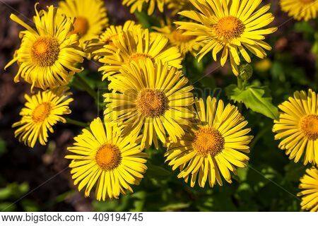 View Of Yellow Doronicum Flowers In The Summer Garden. Photography Of Lively Nature.