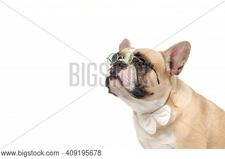 Cute French Bulldog Wear Glasses And White Bow Tie Isolated On White Background, Pets And Animal Con