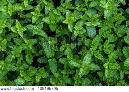 A Photograph Of Fresh Mint From The Garden. Useful For Cooking Or For Extracting The Mint Oil.