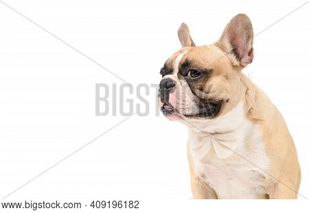 Portrait Of Cute French Bulldog Wear White Bowtie Isolated On White Background, Pets And Animal Conc