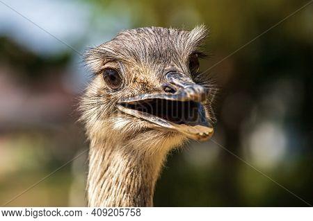 Portrait Profile Of Female Grey Greater Rhea (rhea Americana). Photography Of Nature And Wildlife.