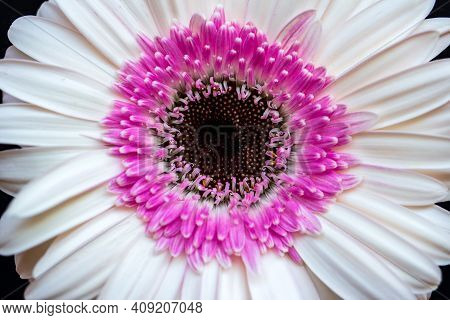 Portrait Of Pastel Gerbera Daisy Flower On The Black Background. Photography Of Lively Nature And Wi