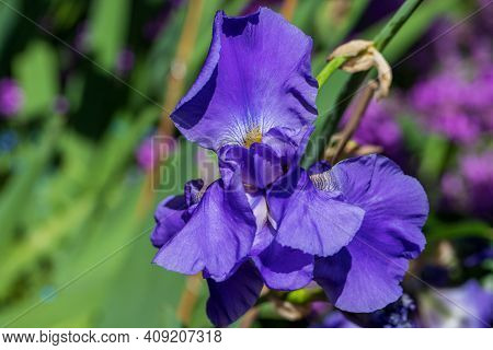 Close-up Of Violet Iris Flower In The Summer Garden. Photography Of Lively Nature.