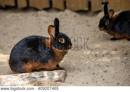 Full Body Of Black-brown Domestic Pygmy Rabbit. Photography Of Nature And Wildlife.