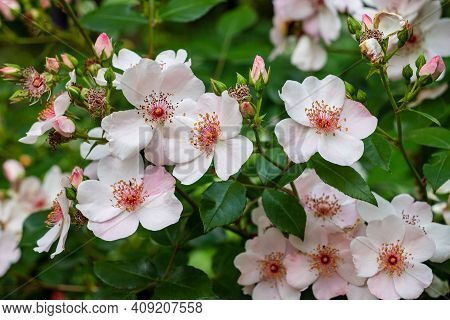View Of White-pink Flowering Bush Rose Hip In The Summer Time Garden. Photography Of Lively Nature.