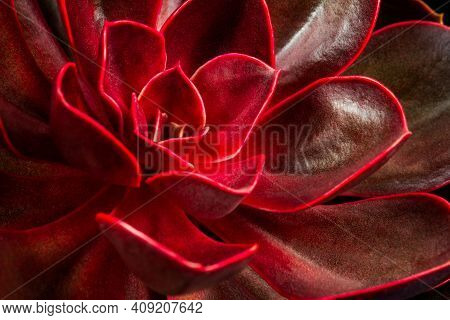 Portrait Of Magic Red Succulent Echeveria. Photography Of Lively Nature.
