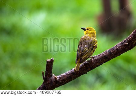 View Of Yellowhammer Small Bird In The Summer Park. Photography Of Lively Nature And Wildlife.