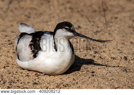 Portrait Of Pied Avocet (recurvirostra Avosetta) Black And White Waterbird. Photography Of Nature An