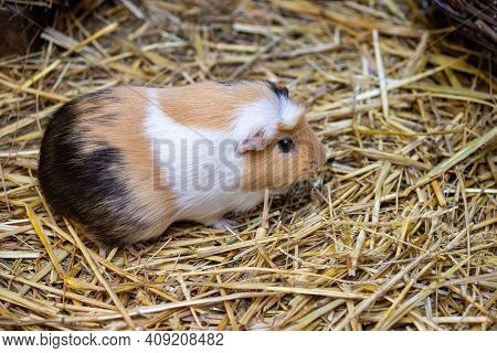 Close-up Of White-brown-black Domestic Guinea Pig (cavia Porcellus) Cavy On The Straw. Photography O
