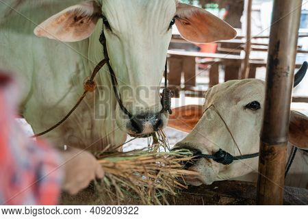 Close Up Of Cows Being Fed Hay By Hand Of Cow Farmer Girl