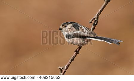 The Long-tailed Tit (aegithalos Caudatus) Is A Small Passerine Bird Quite Common In Europe.