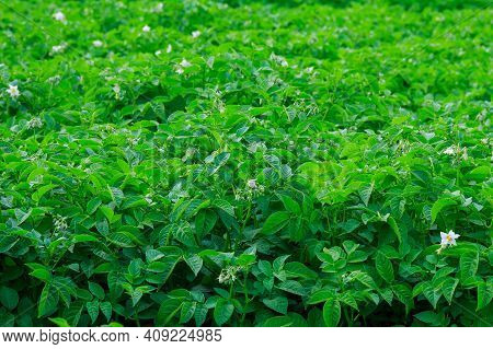 Potatoes Are Planted In Rows On The Field. Green Foliage Of Potatoes. Growing Potatoes In A Large Fi