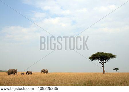 African Elephant Family And Acacia Trees On The Savannah. Maasai Mara, Kenya