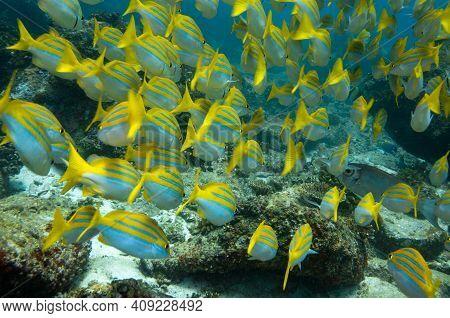 Underwater Sea Life, School Of Tropical Yellow Fish Bengal Snapper ( Lutjanus Bengalensis ), Seychel