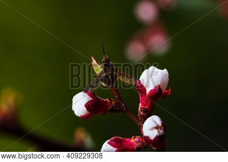 Apricot Tree Flowers. Spring White Flowers On A Tree Branch. Apricot Tree In Bloom. Spring, Seasons,