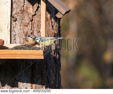 Close Up Eurasian Blue Tit, Cyanistes Caeruleus Bird And Wood Nuthatch Perched On The Bird Feeder Ta