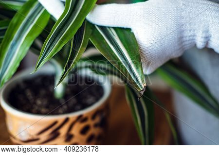 Spring Indoor Plant Care. Waking Up Indoor Plants For Spring. Female Hands Spray And Washes The Leav