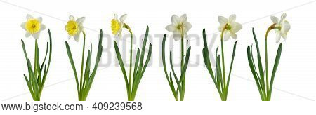 Daffodil Flower In Different Positions Set Isolated On White. White And Yellow Narcissus Spring Flow
