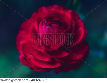 Beautiful Soft Tender Background. Red Ranunculus Flower Petals Close Up. Soft Floral Wallpaper. Vivi