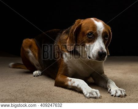 A Large Beagle Mixed Hound Dog Is Laying On The Carpet Flooring In The Photography Studio. His Snout