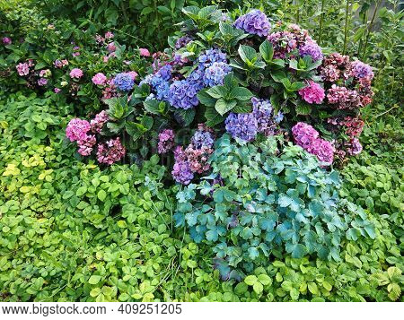 Beautiful Blooming In Bright Pink Color Hortensia Hydrangea Macrophylla In A Lovely Home Garden