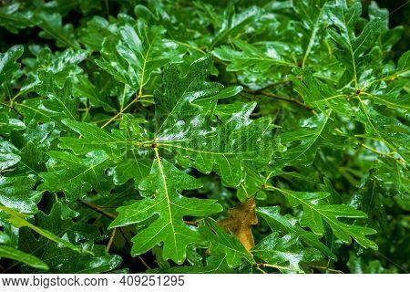 Shiny, Wet, And Very Green Foliage Of A White Oak Tree (quercus Alba). Raleigh, North Carolina.