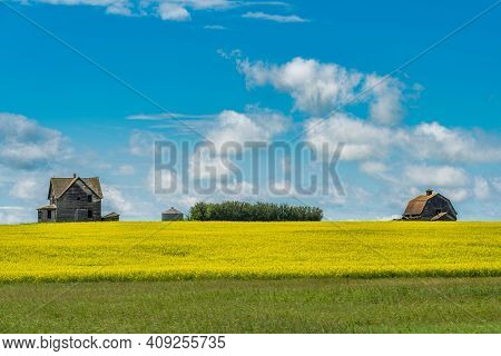 Abandoned House And Barn Outside Assiniboia, Sk With A Blooming Canola Crop In The Foreground